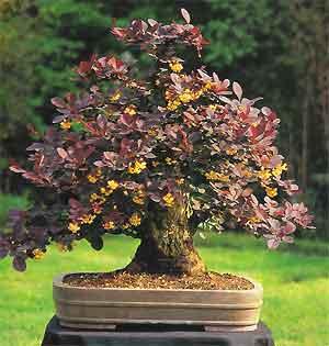 Bonsai tree histories berberis bonsai case history for Tipi di bonsai