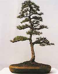 Enjoyable Bonsai Tree Histories Cedar Bonsai Case History Literati Wiring Digital Resources Funapmognl