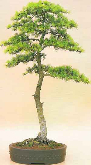 bonsai_cedar_literati6 Why Wiring Bonsai on bonsai cultivation and care, bonsai shapes, bonsai tools, bonsai blue, bonsai jade, bonsai accessories, bonsai without wires, bonsai artist, bonsai starter, bonsai copper wire, bonsai ficus varieties, bonsai wire sets, bonsai tree, bonsai lamps, bonsai wire sizes,