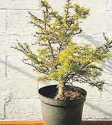 Bonsai Tree Histories Cedar Bonsai Case History Cedrus Libani Nana