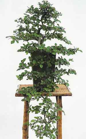 Bonsai Tree Histories Cotoneaster Bonsai Case History Cotoneaster Horizontalis