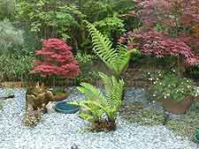 Picture of maple and ferns