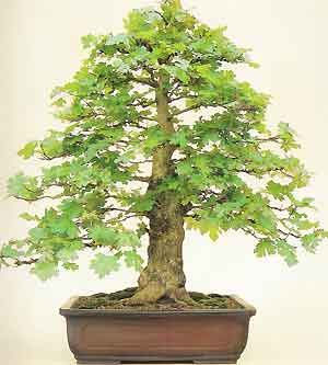 Famous large bonsai trees for Famous bonsai trees