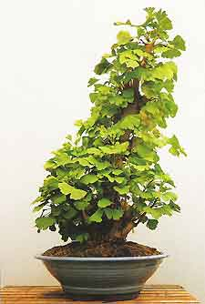 Bonsai Tree Histories Ginkgo Bonsai Case History Ginkgo Biloba