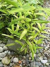 Dwarf golden bamboo