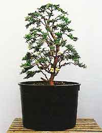 bonsai tree histories hinoki cypress bonsai case history informal rh why bonsai com Weeping Willow Bonsai Types of Bonsai Trees