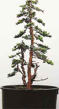 Awe Inspiring Bonsai Tree Histories Hinoki Cypress Bonsai Case History Twin Trunk Wiring Database Scataclesi4X4Andersnl
