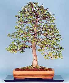 Displaying Bonsai in your Home