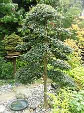 Clipped garden bonsai, created using Italian privet