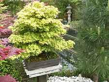 Kashima maple, displayed on wooden plinth