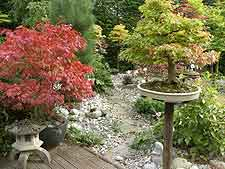Garden view, showing large bonsai maple on plinth