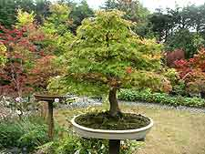 Large Japanese maple bonsai displayed on plinth
