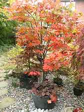 Large Japanese maple growing in granite pot