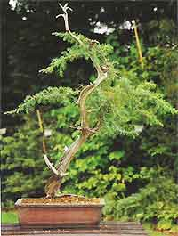 Bonsai Tree Histories Needle Juniper Bonsai Case History Juniperus Rigida