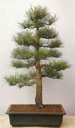 Bonsai Tree Histories Pine Bonsai Case History Formal Upright