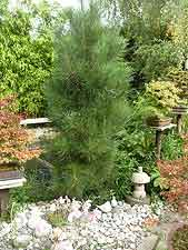 Large ex-bonsai pine tree