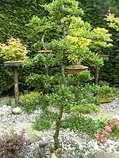 Pyracantha garden bonsai