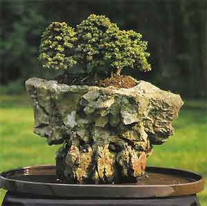 Bonsai Tree Histories Spruce Bonsai Case History Picea Abies Little Gem