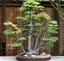 Clump style bonsai