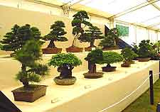 Flower show bonsai display