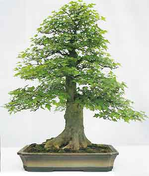Bonsai Tree Histories Trident Maple Bonsai Case History Acer Buergerianum