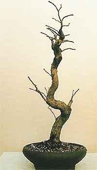 Bonsai Tree Histories Willow Bonsai Case History Salix Babylonica